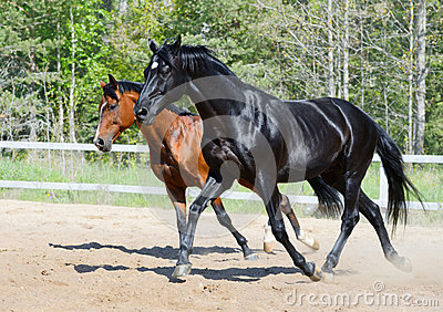 Black stallion and bay stallion in motion