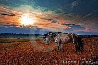 Black stallion in evening field