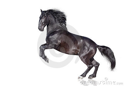 Black stallion isolated
