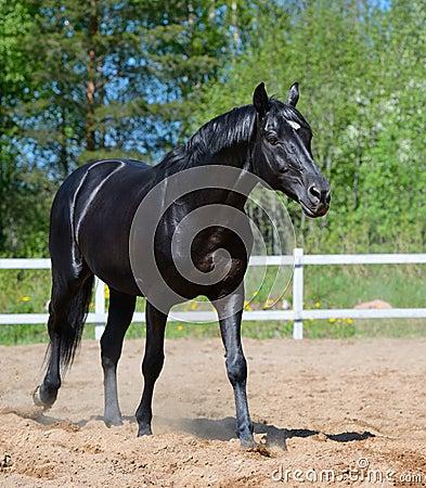 Black stallion of Russian riding breed