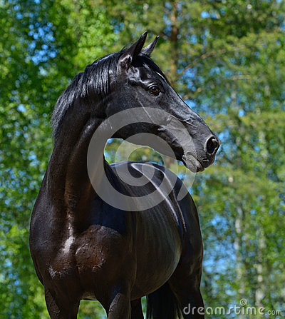 Black stallion of Russian riding breed