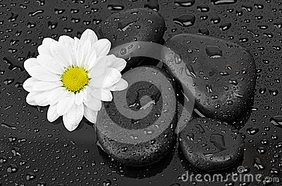 Black stones and white flower with water drops
