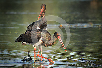 Black Stork catch fish in the old bed of the Tisza
