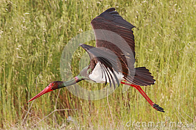 Black Stork Flying