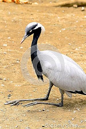 Black stork sitting