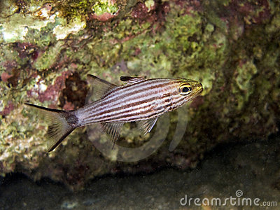 Black Striped Cardinal fish