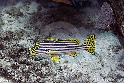 Black-stripped yellow fish