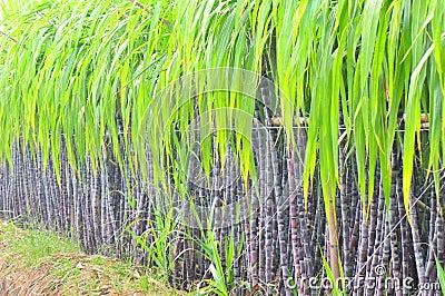 Black Sugarcane Plant Row Royalty Free Stock Photo Image
