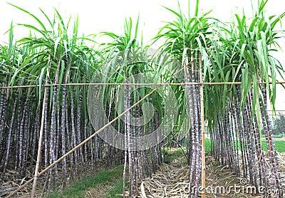 Black sugarcane in rows