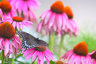 Black Swallowtail among Echinacea