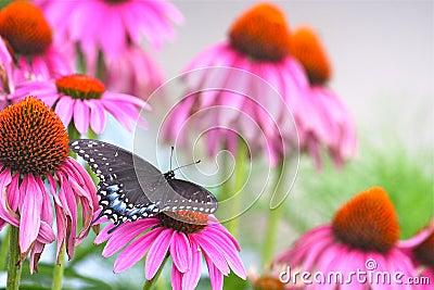 Black Swallowtail among Echinacea