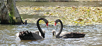 Black swans forming heart / pond idyll