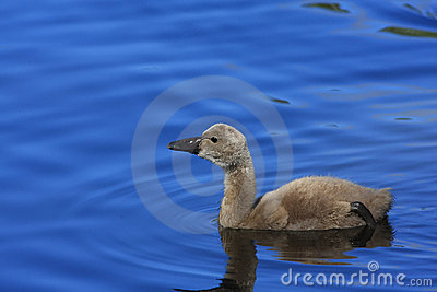 Black Swan Cygnet (Cygnus atratus)