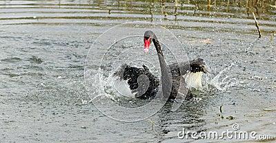 Black Swan Dance