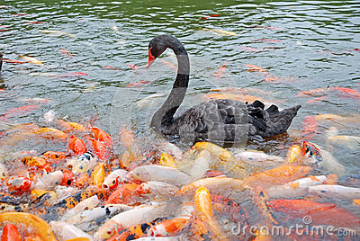 Black swan  and fish
