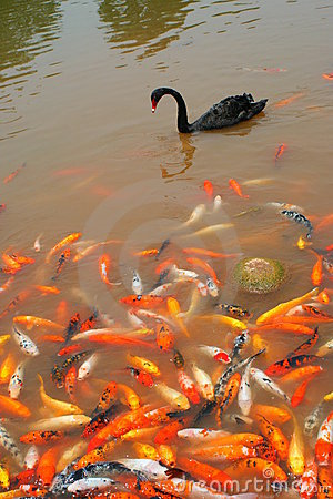 Black swan and koi in Chengdu, China