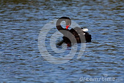 Black swan on lake
