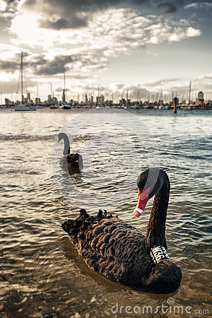 Black swan in Melbourne