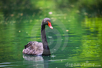 Black swan with a red beak In The Pond