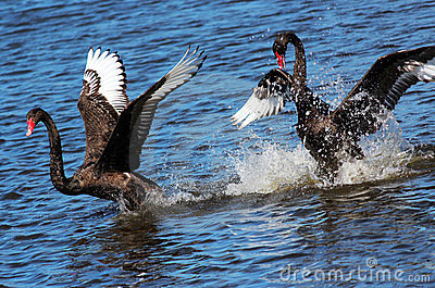 Black Swans Courting
