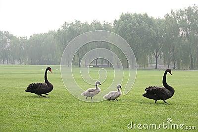Black swans family