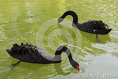 Black swans on a lake