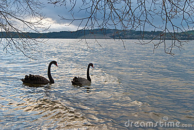 Black swans in the sunset lake