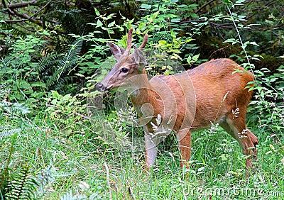 Black Tailed Buck