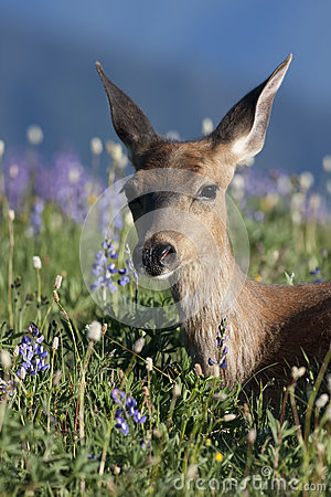 Free Black Tailed Deer In Lupine Royalty Free Stock Image - 89487646