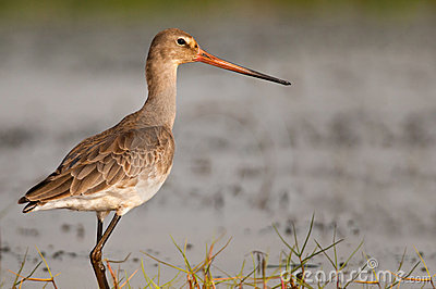Black-tailed Godwit closeup