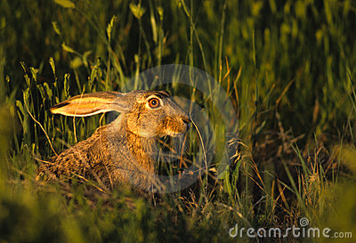 Black-tailed Jackrabbit in Grass