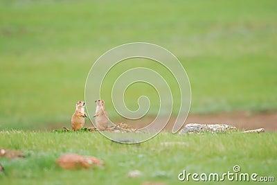Black-tailed Prairie Dog (Cynomys ludovicianus)