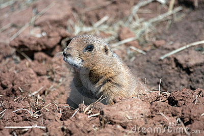 Black-tailed Prairie Marmot