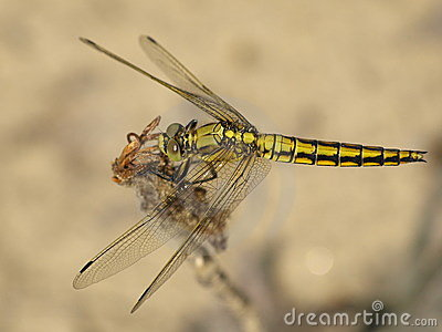 Black-tailed skimmer, dragonfly