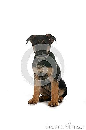 Black Tan German Shepherd Pup