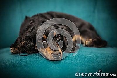 Black And Tan Long Coat Dog Free Public Domain Cc0 Image