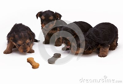 Black And Tan Yorkshire Terrier Puppy Free Public Domain Cc0 Image