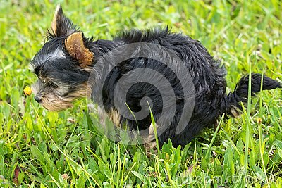 Black And Tan Yorkshire Terrier On Top Of Green Grass Field Free Public Domain Cc0 Image