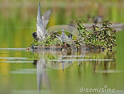 Black terns (Chlidonias niger)
