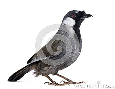 Black-throated Laughingthrush - Garrulax chinensis