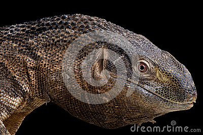 Black-throated monitor