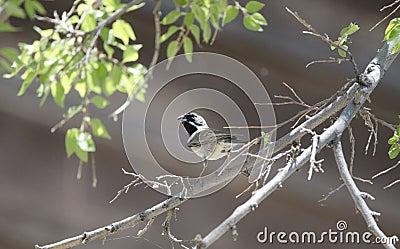 Black Throated Sparrow bird, Colossal Cave Mountain Park, Arizona