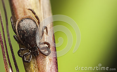 Black tick on a straw
