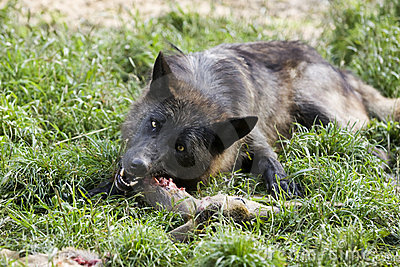 Black Timber wolf eating
