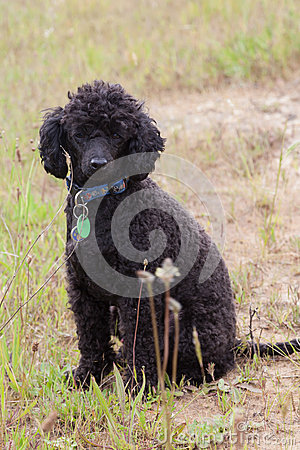 Black toy poodle