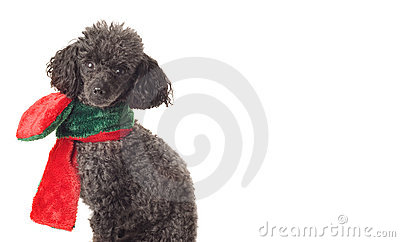 Black toy poodle isolated on white