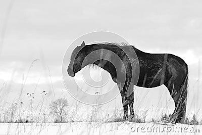 Black trakehner stallion sleeping