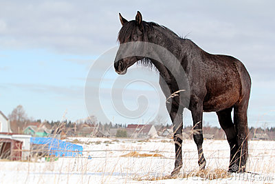 Black trakehner stallion stood