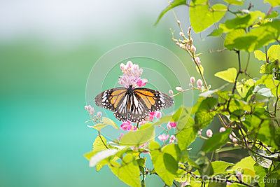 Black Veined Tiger Butterfly perching on pink flowers