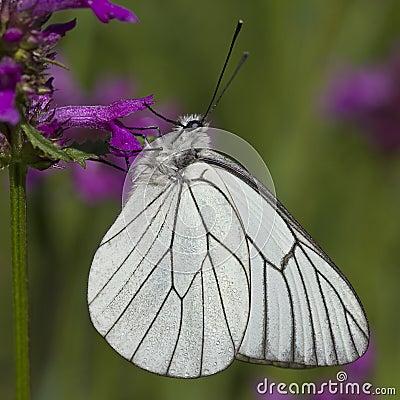 Free Black-veined White (Aporia Crataegi) Stock Photo - 16874860
